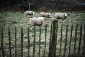 Sheep stand in a green field in Eindhoven, the Netherlands.
