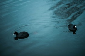 Two black and white meercoot birds float on soft blue water in Amsterdam the Netherlands, Wild Meep.